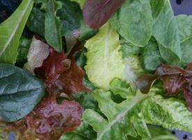 Salata bio - mix de frunze
