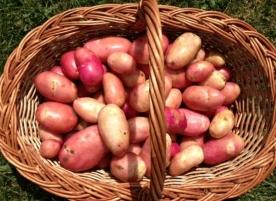 Cartofi rosii eco