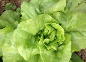 Salata verde bio