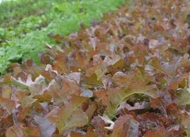 Salata rosie bio - frunze