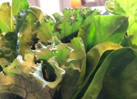 Kale, Mangold,Cicoare - bio