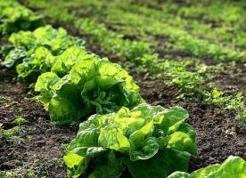 Oferta_Salata verde - 10 buc