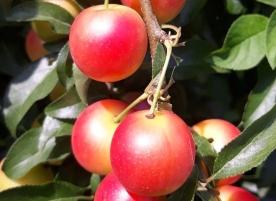 Corcoduse bio, rosii 500g