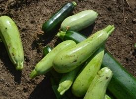 Dovlecei zucchini eco romanesti