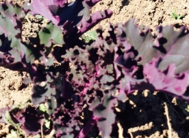 Kale rosu bio