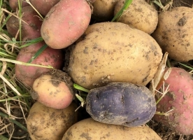 Cartof alb eco