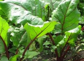 Frunze de sfecla eco