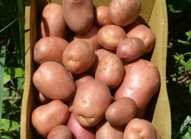 Cartofi bio rose