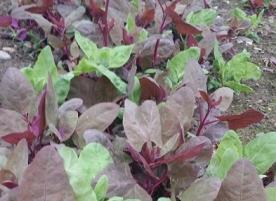 Loboda rosie ecologica