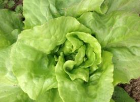 Salata verde laptuca bio,gi