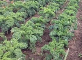 Kale bio, 250g, gi