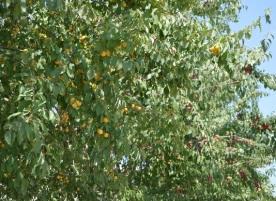Corcoduse bio coapte, pentru gem sau compot