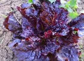 Salata rosie eco