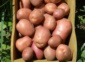 Cartof eco, rosu, 5kg