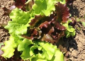 Salata eco, yin si yang