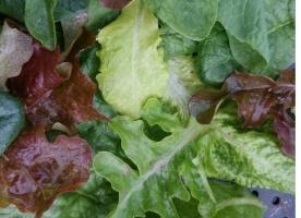 Verde de toamna: salata, mangold, spanac, frunze de sfecla eco