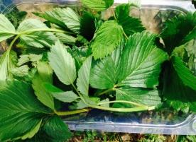 Frunze de zmeura si capsuni eco_pentru smoothie