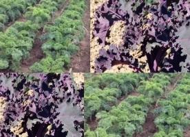 Kale bio mix