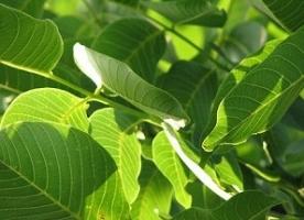 Frunze de nuc eco_ pentru infuzie